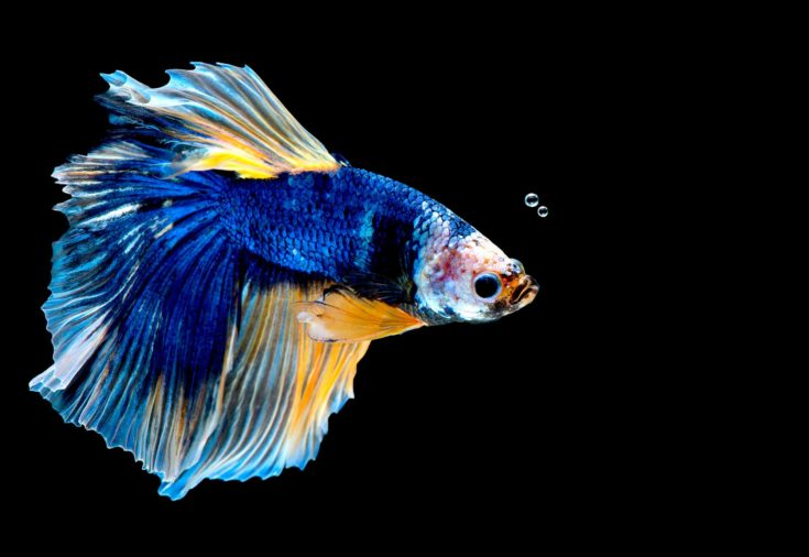 Colorful with main color of blue betta fish, Siamese fighting fish was isolated on black background.