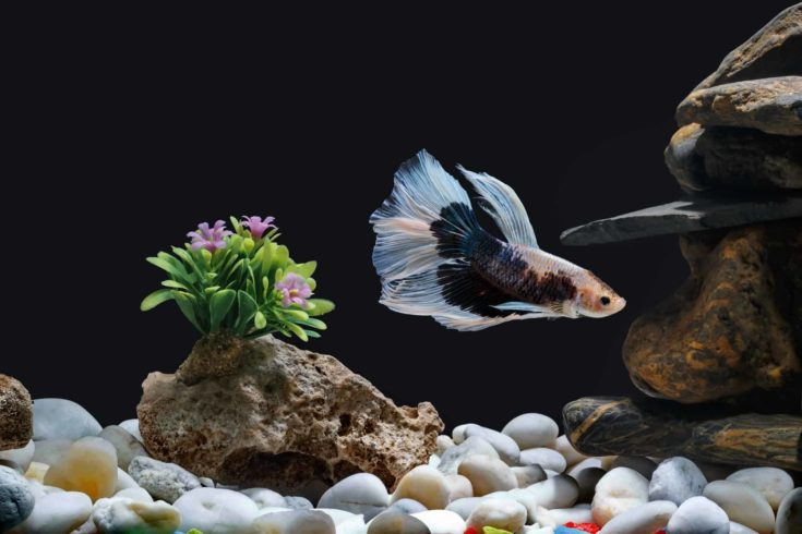 Fighting fish, Siamese fish, in a fish tank decorated with pebbles and trees, Black background.
