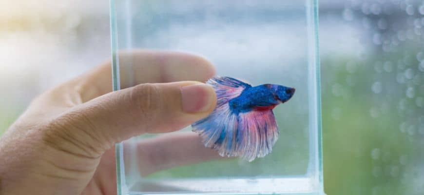 man's hand holding a glass of water with betta fish inside