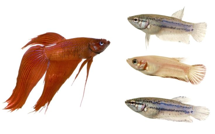 Male and Female Siamese fighting fish in front of a white background .