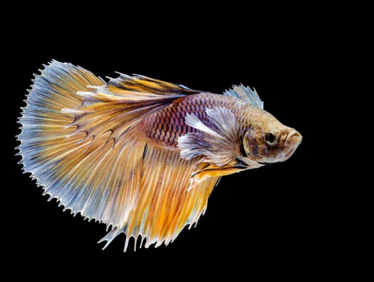 beautiful of siamese fighting fish on black background