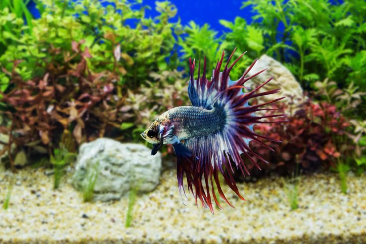 Siamese fighting fish with green plants