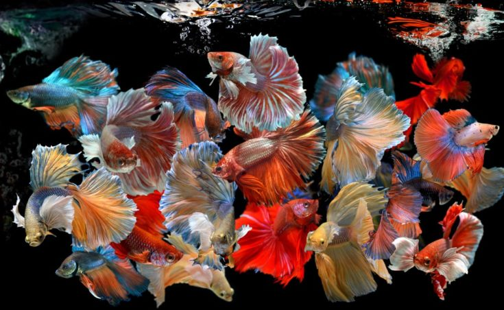 Action of many beautiful bettas colorful and soft movement swimming photo and mixed in studio technic.