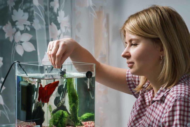 Woman feeding beta fish in aquarium at home.