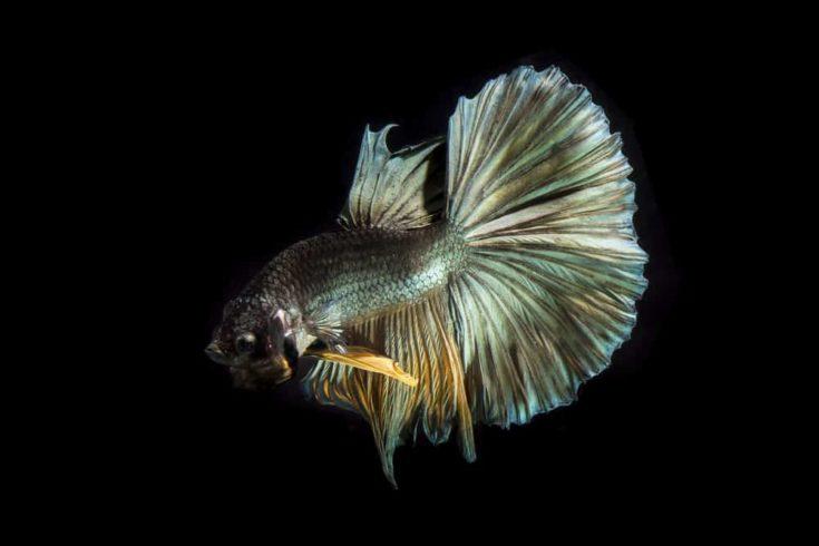 Copper betta fish, siamese fighting fish on black background.