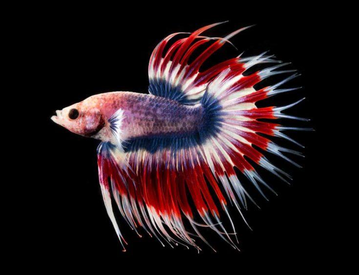 Crowntail multicolored betta fish.