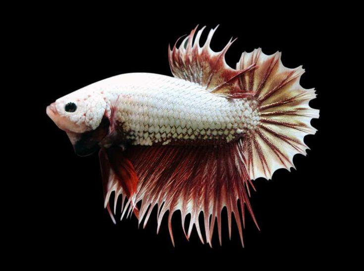 Betta Red Dragon Crowtail CTPK Male or Plakat Fighting Fish Splendens On Black Background.