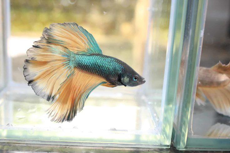 Single betta fish inside aquarium.