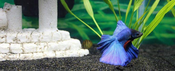 Ourple betta fish in aquarium.